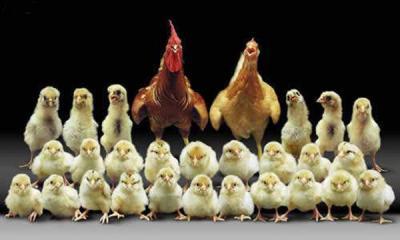 familia de pollos